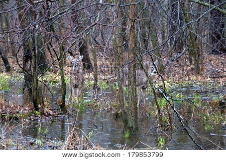 A pair of deer standing in a pool of water in the woods during a rainstorm in winter