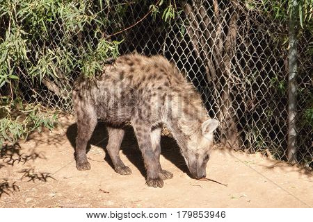 Large African Spotted Hyena sniffing ground for food