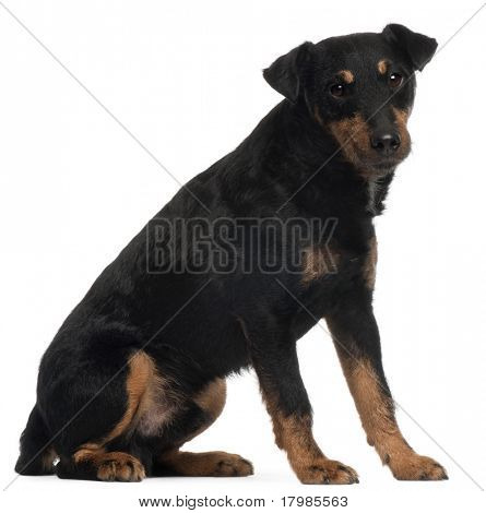 Jagdterrier or German Hunt Terrier, 4 years old, sitting in front of white background
