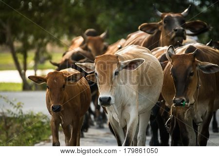 Herd ox on the country road at Thailand