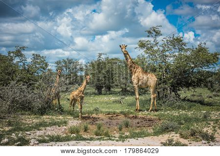 Giraffes in Etosha national park Namibia Africa