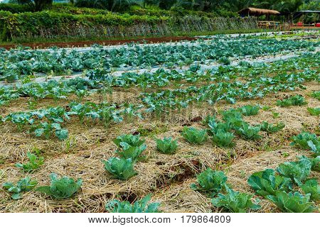 Agriculture farm. Landscape view of a freshly growing cabbage field with dry grass. Organic green cabbage plant growing on plantation. Some part ready for harvest. Outdoor at the daytime.