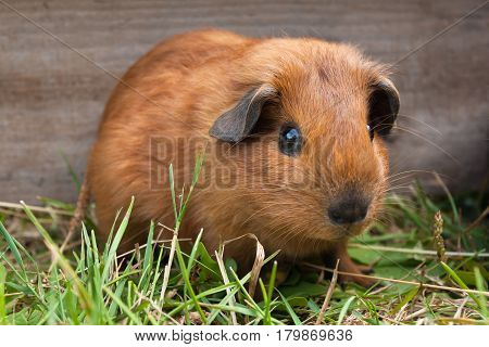 young guinea pig sitting in the cage among grass
