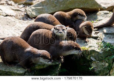 European Otter Family (lutra Lutra)