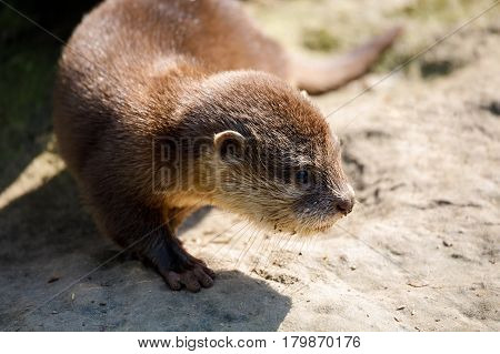 Baby Of European Otter (lutra Lutra)