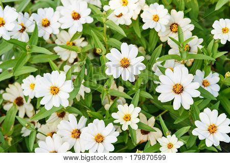 White zinnia angustifolia flowers on flowerbed. background
