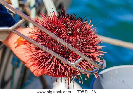 Sea Urchins On Sale By The Fishing Harbor In Half Moon Bay California