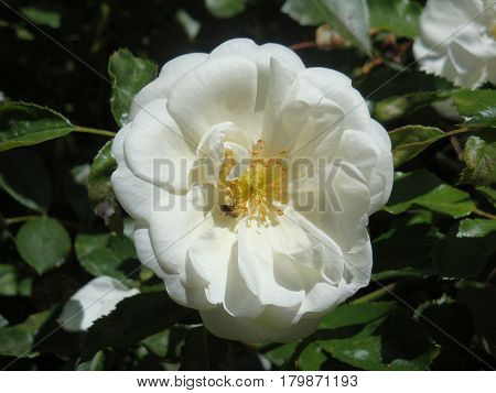 white rose with yellow stamen and a busy bee