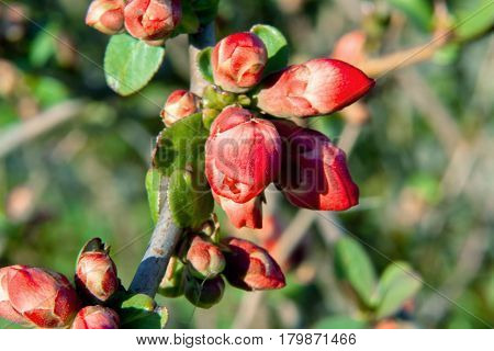 Bush In The Garden Blooming In Red Flowers