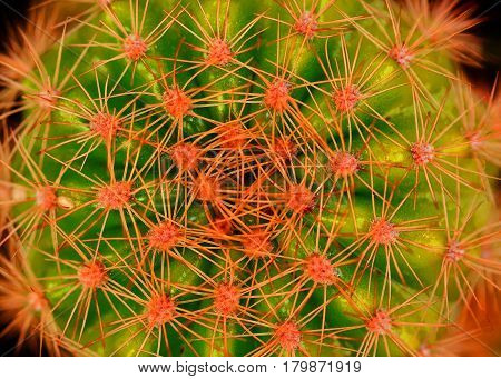 Close up Large red thorn on big cactus
