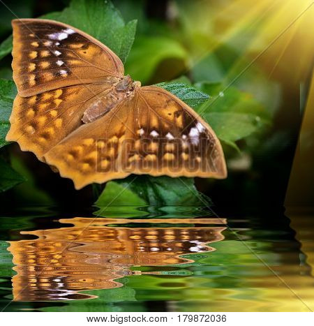 Brown butterfly on green leave with reflection in garden
