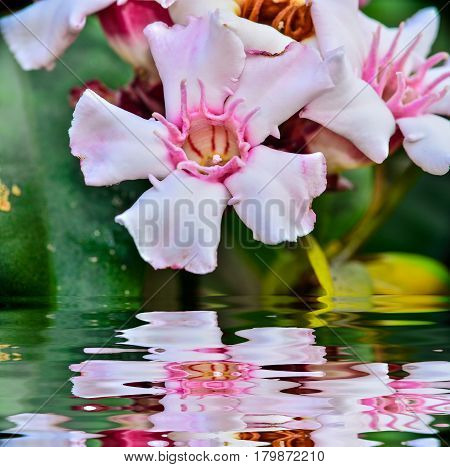 Close up Allamanda flower blooming with reflection in water