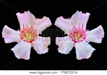 Close up Allamanda flower isolate on black background