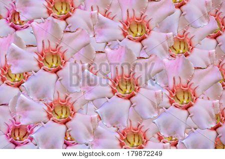 Close up beautiful Allamanda flower isolate background