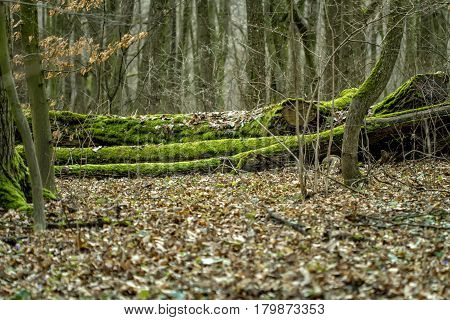 Old Tree Crashed And Overgrown With Moss
