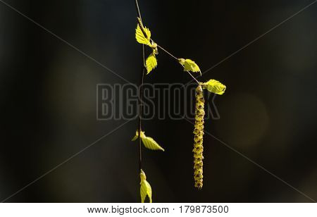 On thin branches of birch small green leaves and earrings glow on the sun and create an image of spring joy awakening new life renewal.