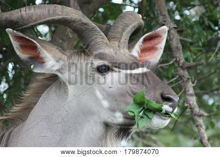 Large African Kudu with large horns grazing