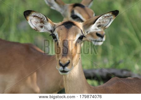 Beautiful African Impala on alert while grazing