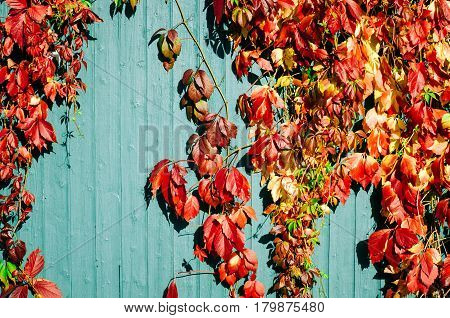 red and yellow autumn leaves with wooden background