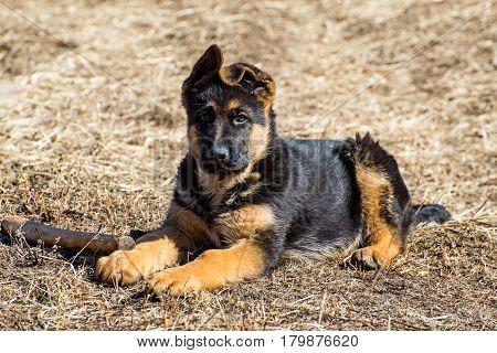 German shepherd puppy lies - adorable german shepherd puppy with floppy ears
