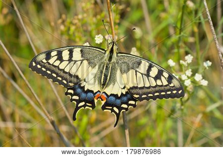 Old World Swallowtail (Papilio machaon) butterfly in its habitat - in the field located in central Ukraine.