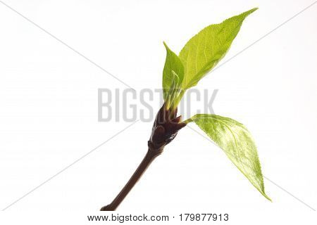Group of buds and spring leafs on the twig poplar. Closeup.