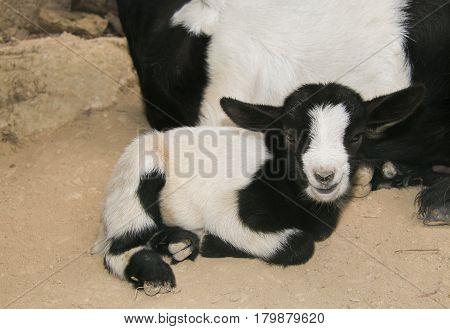 Portrait of sweet baby dwarf goat in the farm