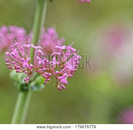 Plant Of Centranthus
