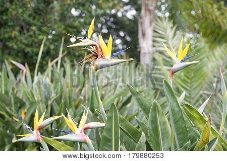 detail of strelitzia flower in a garden in summer time