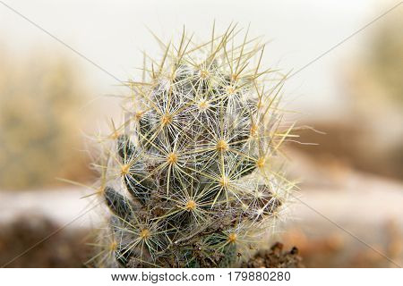 Small Spiny Cactus In A Pot