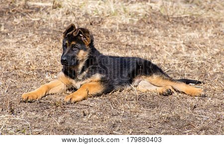 German shepherd puppy lies - adorable german shepherd puppy with floppy ears
