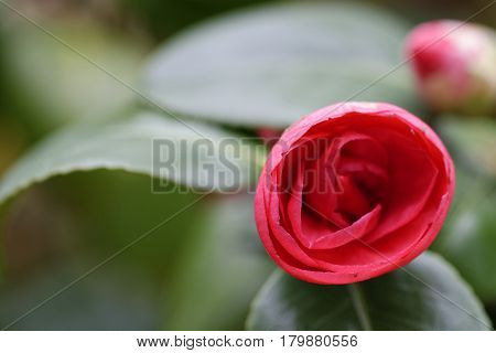 detail of camelia flower in a meadow in italy