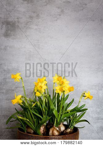 Beautiful yellow narcissus with gray concrete background