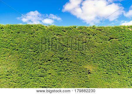 Green pine bush organic background straight plain cut