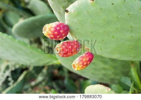 Prickly pear green cactus with fruit outdoor