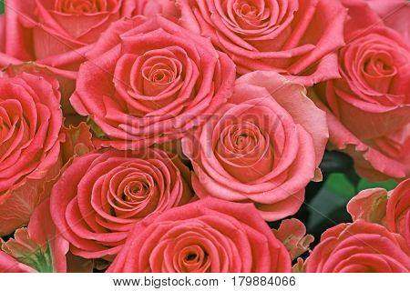 bunch of pink roses in full flower