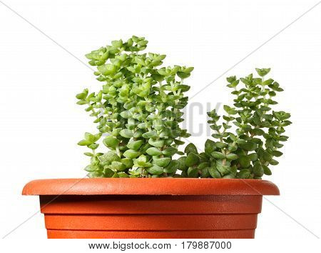 Succulent Planted In Red Pot