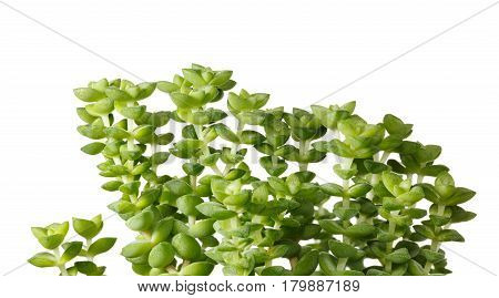 Macro of evergreen succulent plant (Crassula monticola) tiny twigs and leaves isolated over white background