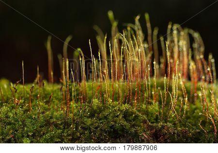 Red Sporophytes