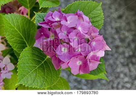 Multiple pink hydrangea plant or hortensia flower with leaves in the garden.