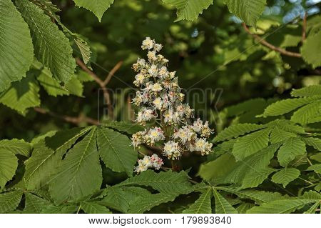 White horse-chestnut,  Aesculus hippocastanum or Conker tree with flower and leaf,