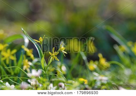 YELLOW STAR OF BETHLEHEM - Spring flowers in a city park