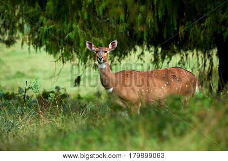 The mountain nyala live in some parts of Ethiopia and is an endangered species. In the photo a female