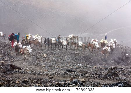 Donkeys carry provision to high villages in Himalayas Nepal