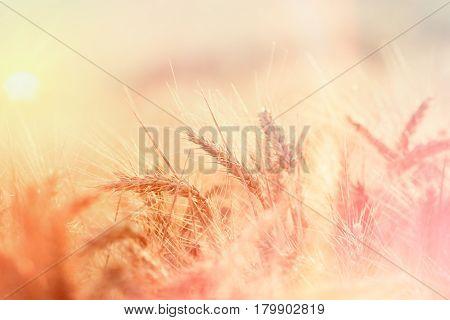 Wheat field in summer afternoon - wheat field lit by sunlight