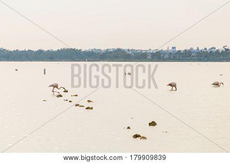 Pink Flamingo on Lake. Big group flamingos on the lake.