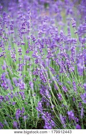 Lavender growing in a field. Lavender is a beautiful aroma herbal flower. Close-up view lavenders