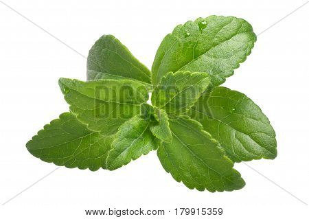 Sweetleaf, Sugar Leaf Or Stevia Rebaudiana, Paths