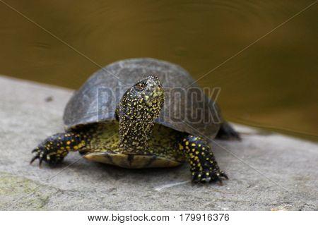 European pond turtle (Emys orbicularis) or European pond terrapin