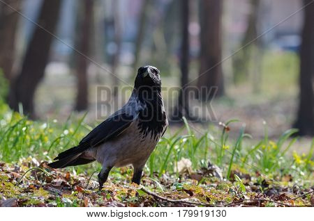 DUN CROW - Portrait of wild bird in urban park